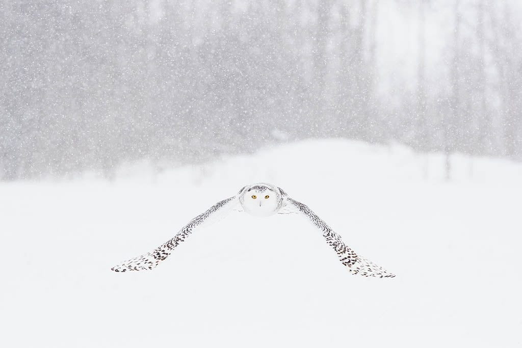 Snowy Owl - Arctic Exposure