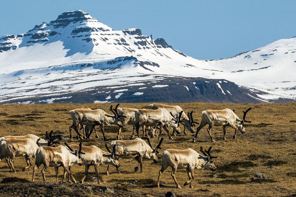 Reindeer - Arctic Exposure