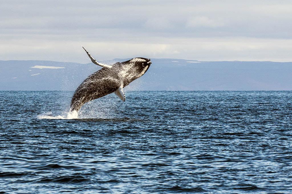 Whale - Arctic Exposure