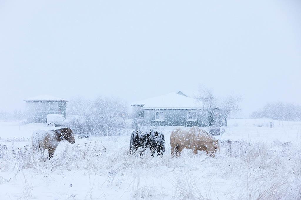 Horses - Arctic Exposure