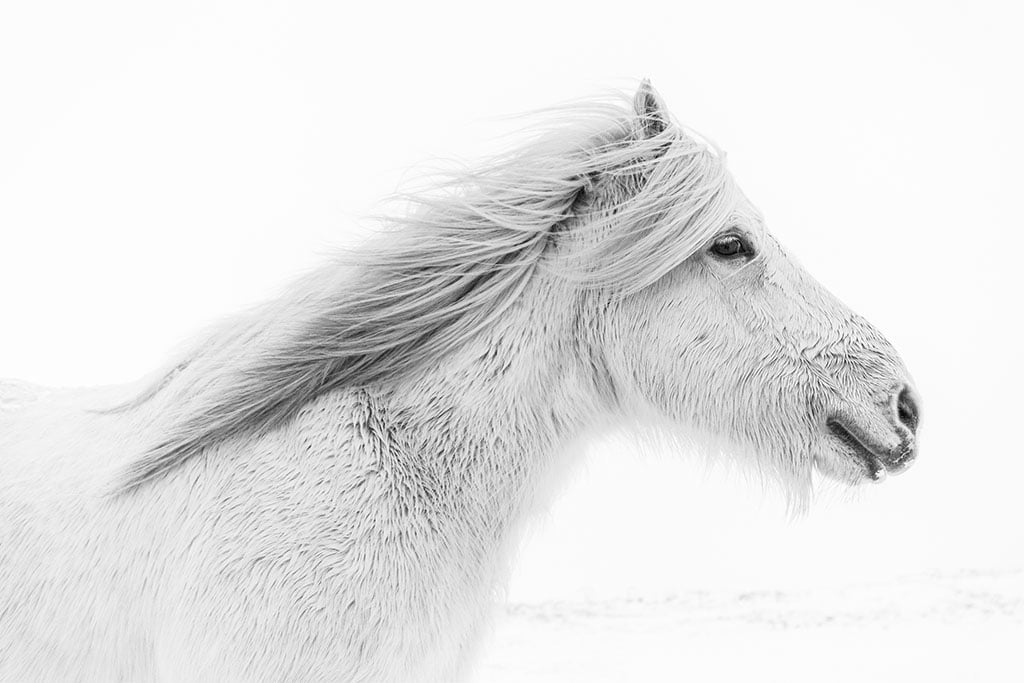 Horse in snow - Arctic Exposure